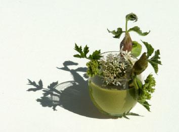 Lepidium draba archives sos soil - Cuisine plantes sauvages ...