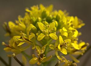 Fleur de Sisymbrium, fleur de soufre