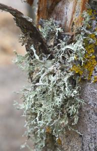lichen Evernia punastri